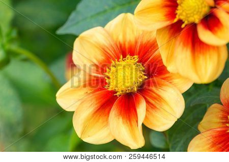 Close-up Of Red-yellow Colored Dahlia (mignondahlie Sunshine) Flowers In Summer.