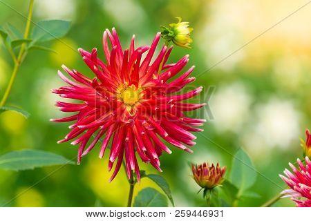 Close-up Of A Red Cactus Dahlia (asteraceae) Flower In Summer. Semi Cactus Dahlia Flowers In Late Su