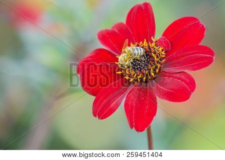 Close-up Of A Honey Bee On A Deep Purple Colored Dahlia (asteraceae) Flower In The Morning Light. Bl
