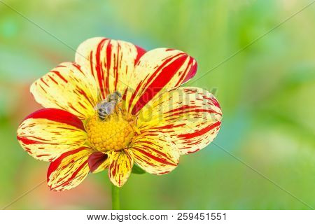 Close-up Of A Bee On A Red-yellow Colored Dahlia (asteraceae) Flower In The Morning Light. Blooming