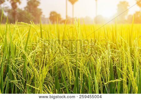 Image Is Blurred, Rice Fields Green And Gold Is Beautiful Images. Background Images Can Be Made And