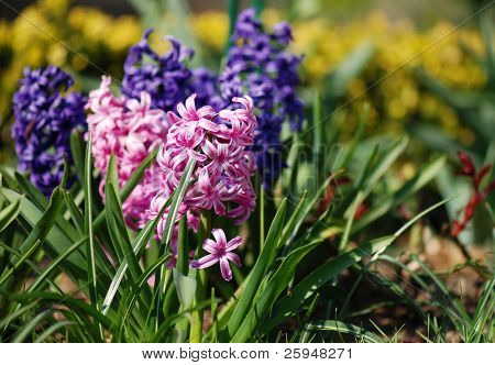 Pink hyacinths (Hyacintus orientalis) flower in bloom. Beautiful spring flora with shallow DOF
