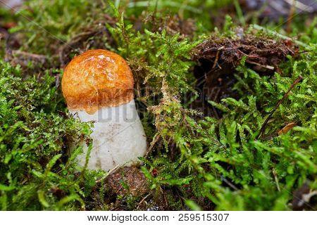 Leccinum Aurantiacum In The Natural Environment.