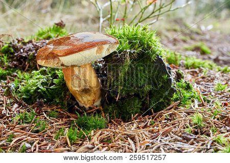 Imleria Badia. Fungus In The Natural Environment.