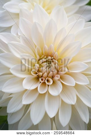 Closeup Of A  White Colored Dahlia Flower
