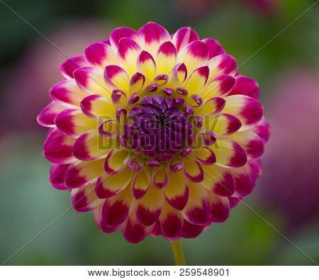 Closeup Of A Beautiful Multi-colored Dahlia Flower