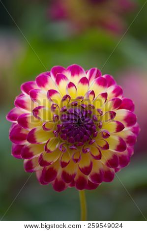Closeup Of A Beautiful Multi-colored Dahlia Flower