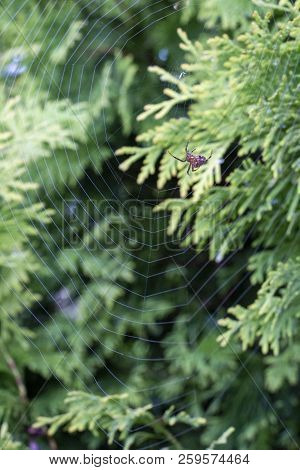 A Garden Spider On A Cobweb, Green Conifer Hedge Blurred Background