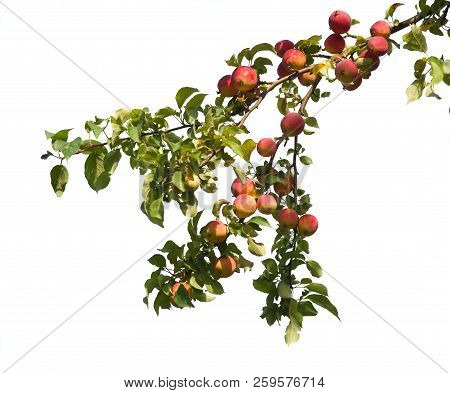 Wild Red Apples On A Branch Isolated On White Background