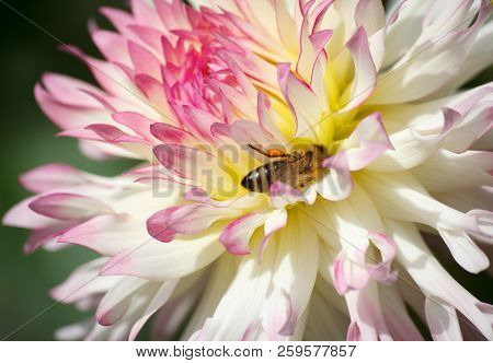 Busy Bee Inside A Pink White Colored Dahlia Flower - Sunny Bright Look And Feel