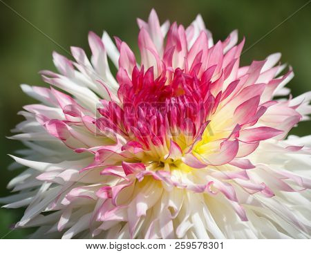 Closeup Of A Pink White Colored Dahlia Flower - Sunny Bright Look And Feel