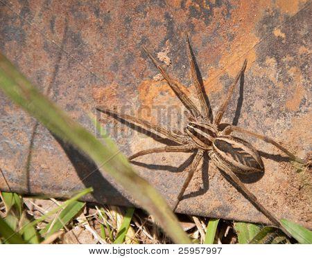 Rabid Wolf Spider on rusty metal