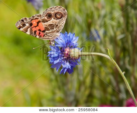 American Painted Lady feeding on Bachelor Button poster