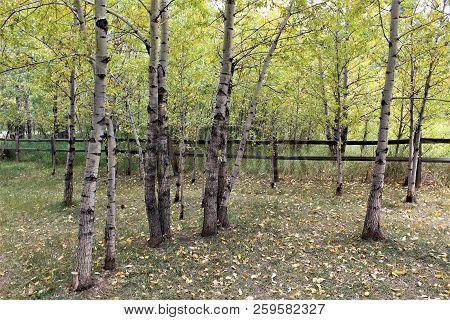 An Afternoon Walk In A Peaceful Aspen Grove Calms The Spirit.