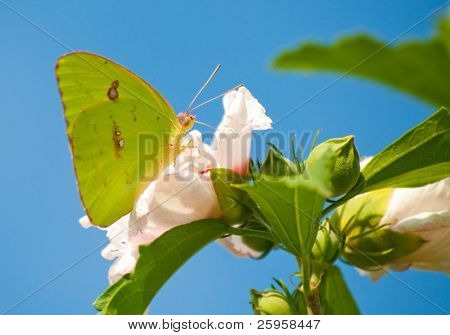 Clouded Sulphur butterfly on Althea flower against blue sky