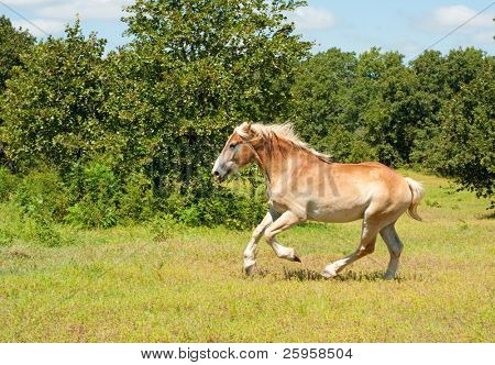 Magnificent Belgian Draft horse in powerful gallop poster