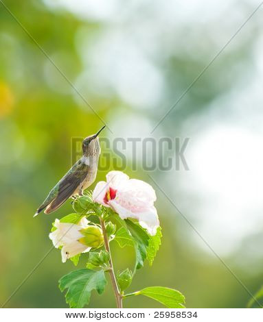 Ruby-throated hummingbird resting on an Althea flower