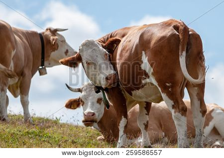 A Group Of Swiss Red White Cows, Grazing In A Meadow In The Italian Dolomites. The Dolomites Are Par