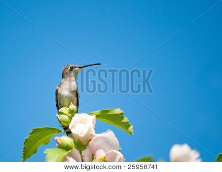 Tiny Hummingbird resting on the top of an Althea bush against bright blue sky