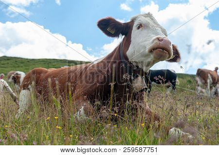 A Swiss Red White Cow, Resing In A Meadow In The Italian Dolomites. The Dolomites Are Part Of The It