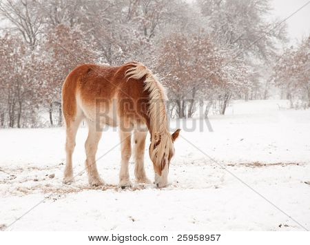 Frosty Belgian Draft horse picking hay in snow on a cold foggy winter day