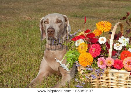 Weimaraner dog with a basket full of flowers in brilliant fall colors poster