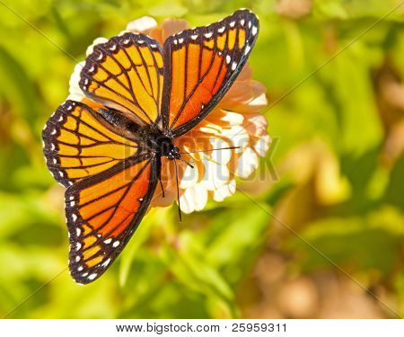 Dorsal view of a brilliant Viceroy butterfly feeding on a flower