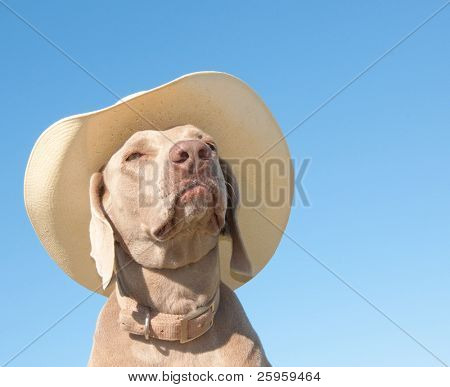 Funny image of a Weimaraner dog in a cowboy hat with a contemplating look, against blue skies poster