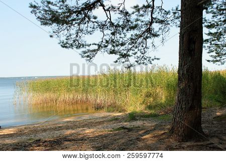 Tree on the lake. Pine on the lake. Beach in the forest. The shore of the lake at sunset. The autumn fir forest. Yellow autumn trees. The northern forest. Lake in the forest at sunset. Blue sky reflected in the lake. The lake in Russia