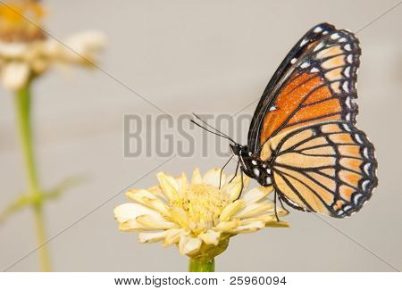 Colorful Viceroy butterfly feeding on a pale yellow Zinnia