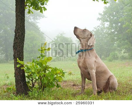 Weimaraner dog sitting under a tree, watching closely at something up in the tree on a foggy day poster