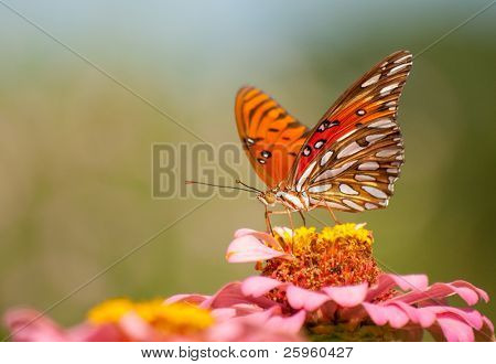 Colorful Agraulis Vanillae butterfly feeding on a pink flower in a garden