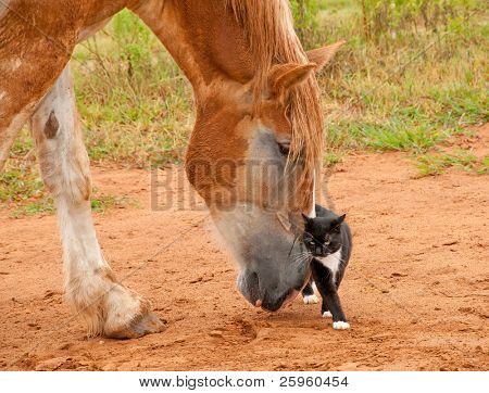 Belgian Draft horse pushing his little kitty cat friend with his huge nose