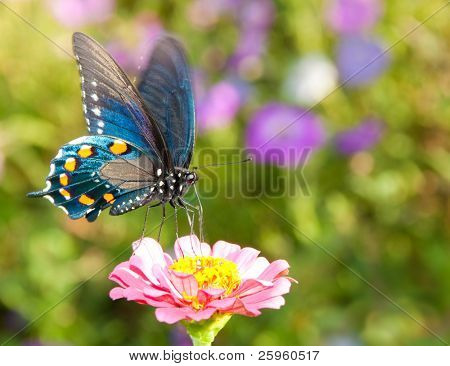 Iridescent blue Pipevine Swallowtail feeding on a delicate pink flower in summer garden