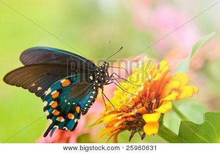 Beautiful iridescent Green Swallowtail butterfly feeding on an orange flower