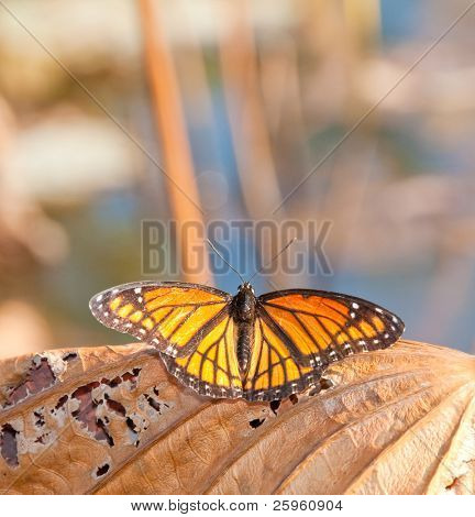 Viceroy butterfly resting on a dead and dry Waterlily leaf in late autumn sunshine