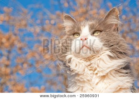 Beautiful long haired diluted calico cat against blue sky and a tree with dry brown leaves
