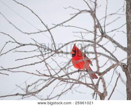 Bright red Northern Cardinal bird resting on a branch in gray winter weather poster
