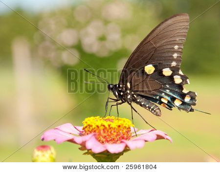 Pipevine Swallowtail butterfly feeding on a pink Zinnia