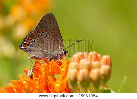 Tiny Coral Hairstreak Butterfly feeding on Asclepias tuberosa bloom