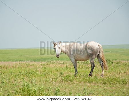 Gray flea bitten horse looking at the viewer in pasture against wide open prairie landscape