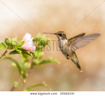 Dreamy image of a young male Hummingbird hovering