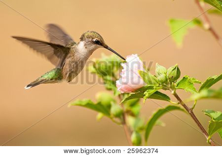 Young male Hummingbird feeding on a light pink Althea flower
