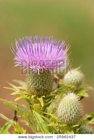 Purple bloom of a Canada thistle, Cirsium arvense