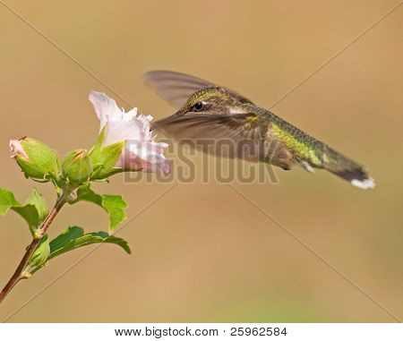 Hummingbird feeding on a flower, with wings extended out