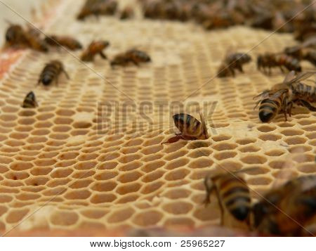 Closeup of working bees