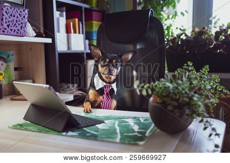 Dog Office Worker. A Dog In A Tie And A White Collar In The Office. Russian Toy Terrier. Director, M