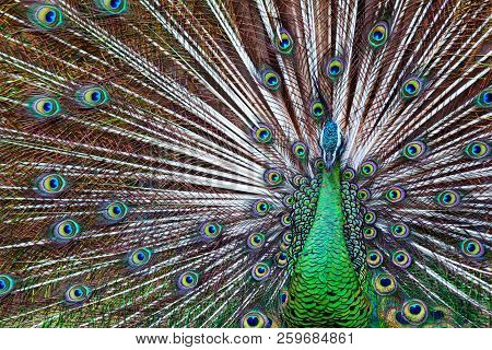 Portrait Of Wild Male Peacock With Fanned Colorful Train. Green Asiatic Peafowl Display Tail With Bl