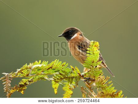 European Stonechat Perching On A Fern Branch Against Clear Background, Uk. Birds In Parks And Meadow