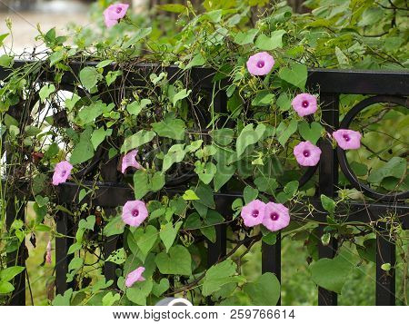 Morning Glory Blooms On An Ornamental Fence